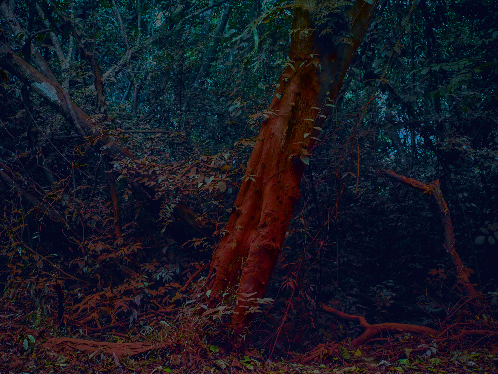 RED FOREST 1